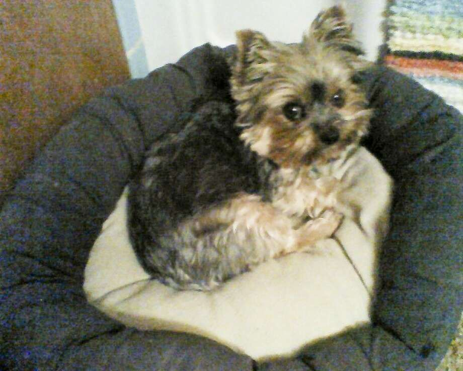 After apparently being stolen out of the front yard of Chris and Michele LeFevre, this 4-year-old Yorkie, named Lily, was sold for $30 in front of United Amigos. The woman who bought her, Amber Nuncio of Lockney, got her back to the LeFevres after realizing she had been stolen. Photo: Courtesy Photo