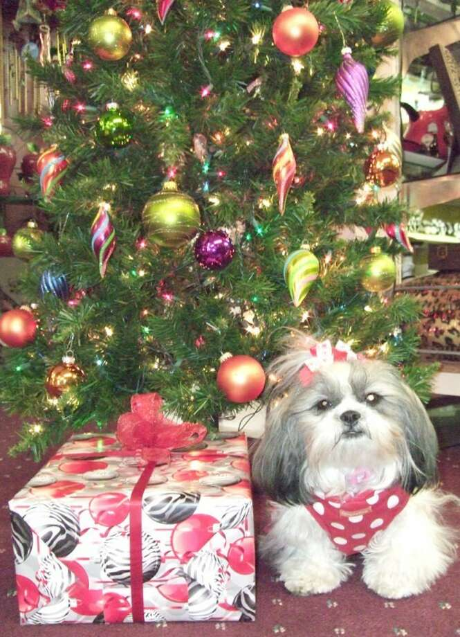 Shanna Sissom/Plainview HeraldAll dressed up in holiday attire, Chanel, a shih tzu, seems to be enjoying the season as she hangs out at Nina's Gifts in downtown Plainview over the weekend. The four-legged companion of shop owner Nina Galvan is always there during store hours. Galvan, who is widowed, believes Chanel, a gift from her sister, was heaven-sent to keep her company. Chanel also serves as the store greeter, Galvan said.