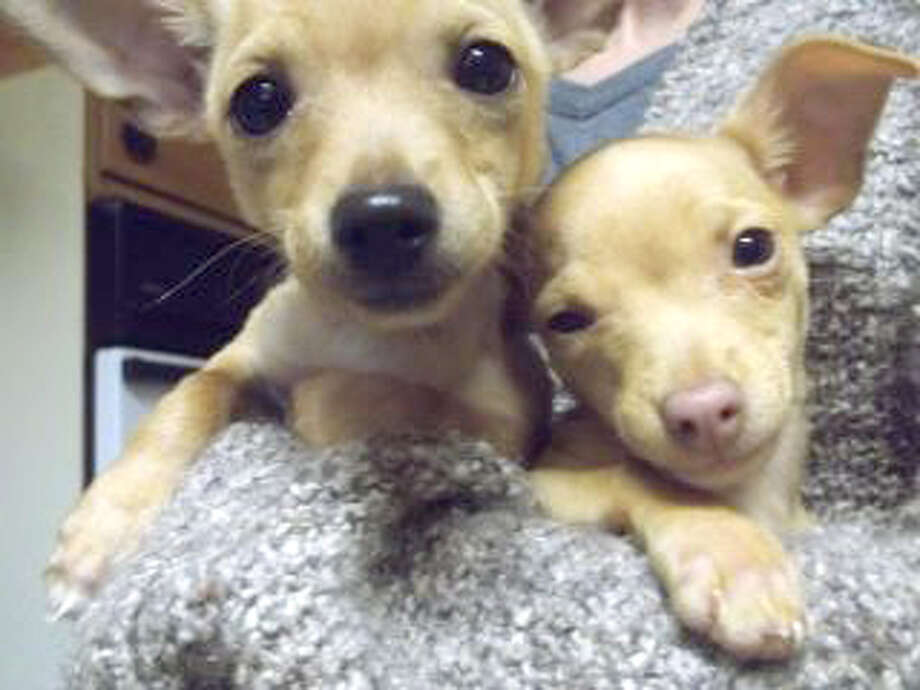 Hans and Helmut are 3-month-old Chihuahuas. They like to wrestle, play tug-o-war and chew bones. Anyone interested in Hans, Helmut or another dog or cat may call the Plainview Humane Society at 806-296-2311, visit from 4-5:30 p.m. Monday-Friday or find us on Facebook. Adoption fee is $75 for dogs and $50 for cats, which includes spay/neuter, rabies shot and a microchip.