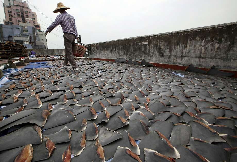 A worker collects pieces of shark fins in 2013 dried on the rooftop of a factory building in Hong Kong. For centuries, shark fin, usually served as soup, has been a coveted delicacy in Chinese cooking. In the United States, members of the fishing industry say they will dig in against 2016 legislation in Congress that proponents believe will help shut down the country's shark fin industry for good. (AP Photo/Kin Cheung, File) Photo: Kin Cheung, Associated Press