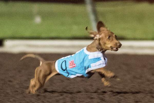 Nearly 100 dogs competed for the title of the fastest wiener in the West in Los Alamitos Race Course's 21st annual Wienerschnitzel Wiener Nationals on July 19 .