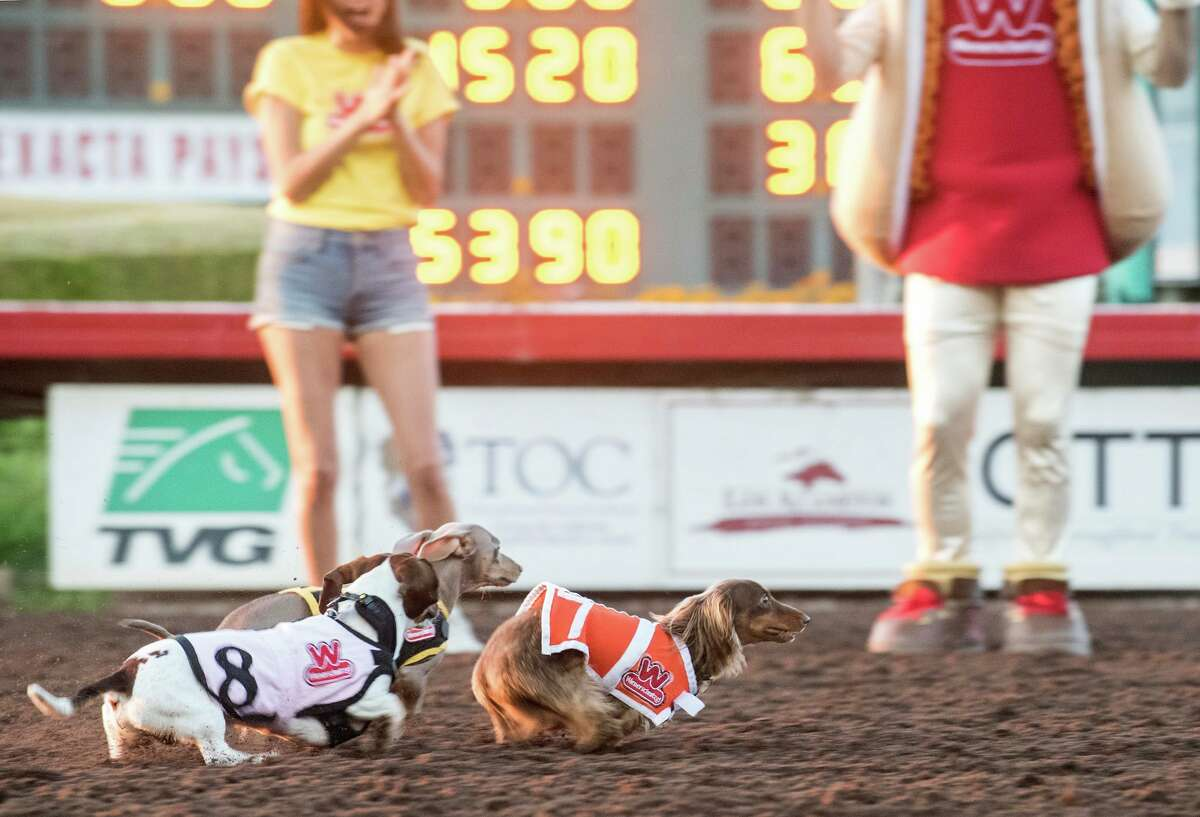 A California race course held its 21st annual Wienerschnitzel Wiener Nationals on July 19 where 90 dogs raced for the title of the fastest wiener in the West.
