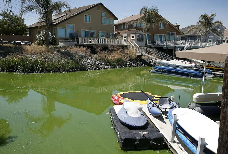 Water in a lagoon is lime green in color near Newport Drive and Capstan Place in Discovery Bay, Calif. on Tuesday, July 26, 2016. Contra Costa County officials may issues warnings if toxic levels of algae is detected from samples collected from the water. Photo: Paul Chinn, The Chronicle