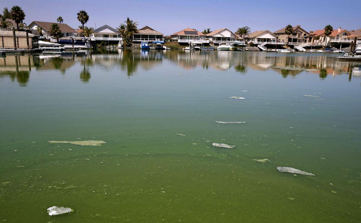 Water in a lagoon is lime green in color near Newport Drive and Capstan Place in Discovery Bay, Calif. on Tuesday, July 26, 2016. Contra Costa County officials may issues warnings if toxic levels of algae is detected from samples collected from the water.