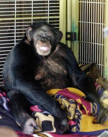Travis, a 10 year old chimpanzee, shown in this 2003 photograph sits in the corner of his playroom at the Stamford, Conn. home of Sandy and Jerome Herold. Travis attacked Charla Nash in 2009, and was shot to death by Stamford Police Officer Frank Chiafari. Photo: File Photo / Stamford Advocate File Photo