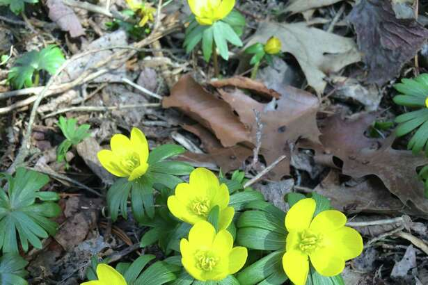 Spring flowers pop up at the Barlett Arboretum on March 11, 2016.
