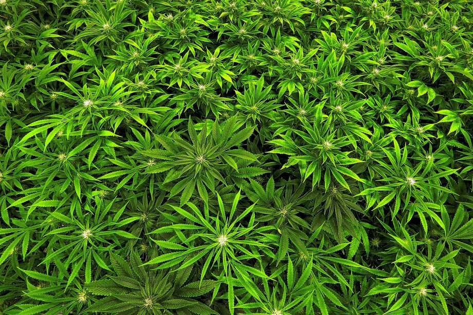 In this Sept. 15, 2015 file photo, marijuana grows at the Ataraxia medical marijuana cultivation center in Albion, Ill. The U.S. Drug Enforcement Administration announced Thursday that marijuana will remain a Schedule I drug. Photo: Seth Perlman, Associated Press