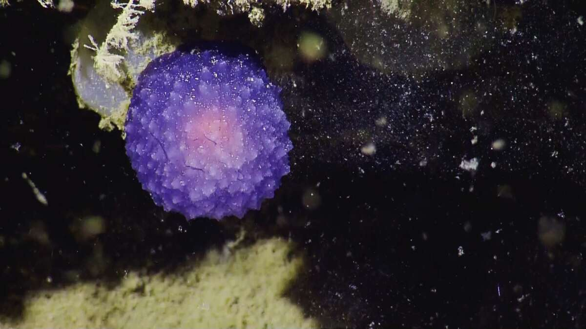 This unidentified purple orb stumped the scientists aboard the E/V Nautilus this past week. After sampling, it began to unfold to reveal two distinct lobes, according to those examining it. This could possibly be a new species of pleurobranch, a sort of sea slug, but a pretty sea slug. It could possibly take years for scientists to definitively determine whether it's a newly discovered species, scientists say.