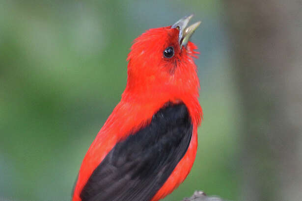 A male Scarlet Tanager sings from the oak branches in Danbury last week.
