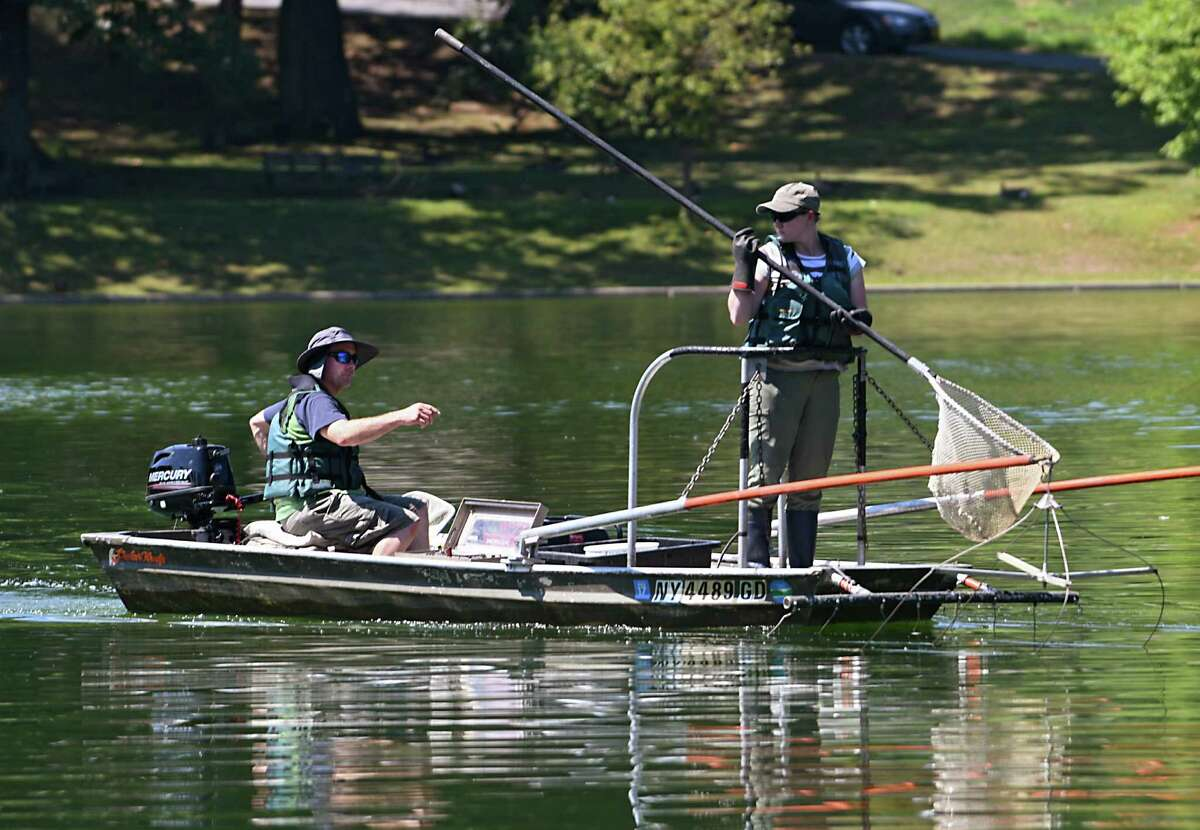 New York State Department of Environmental Conservation workers Scott Wells, left, and Katherine Sessions look for an alligator gar in the lake at Central Park on Wednesday, July 27, 2016 in Schenectady, N.Y. A fisherman had caught and released the large fish with sharp teeth. (Lori Van Buren / Times Union)