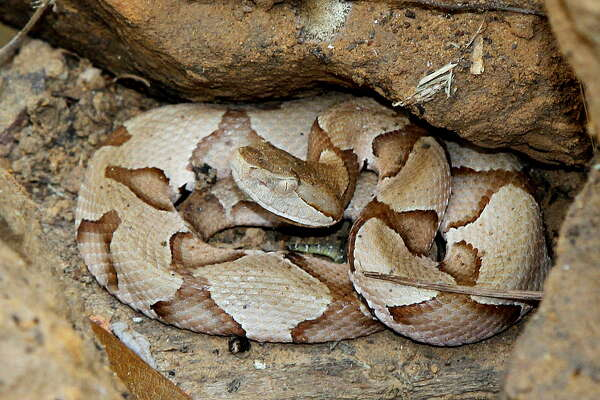 Southern copperheads are usually solitary predators, but on summer nights several can gather in a small areas to prey on emerging cicadas, a phenomenon only recently solidly documented.