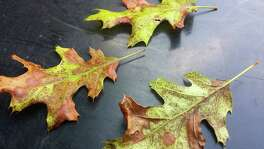 Leaves on a red oak are showing damage that could be from lace bugs or sun scald.