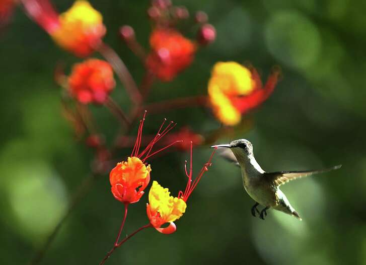 """Hummingbirds are drawn to flowering bushes, like this one near a Pride of Barbados, and feeders on Friday, Sept. 18, 2015, at Mitchell Lake Audubon Center.  Many hummingbirds are """"fueling up"""" for the long journey to Mexico for the winter."""