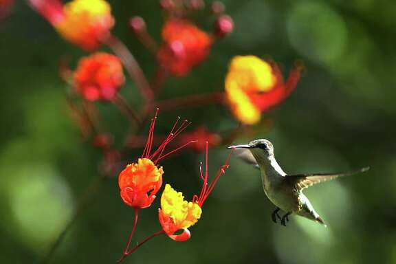 "Hummingbirds are drawn to flowering bushes, like this one near a Pride of Barbados, and feeders on Friday, Sept. 18, 2015, at Mitchell Lake Audubon Center.  Many hummingbirds are ""fueling up"" for the long journey to Mexico for the winter."
