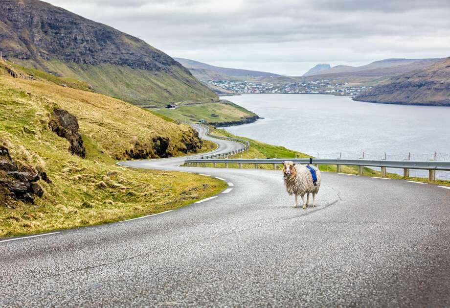 A sheep in the Faroe Islands equipped with Sheepview goes out on the job. Photo: Visit Faroe Islands/Courtesy