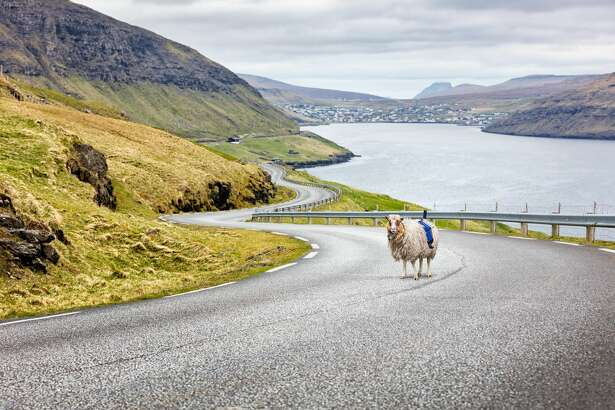 A sheep in the Faroe Islands equipped with Sheepview goes out on the job.