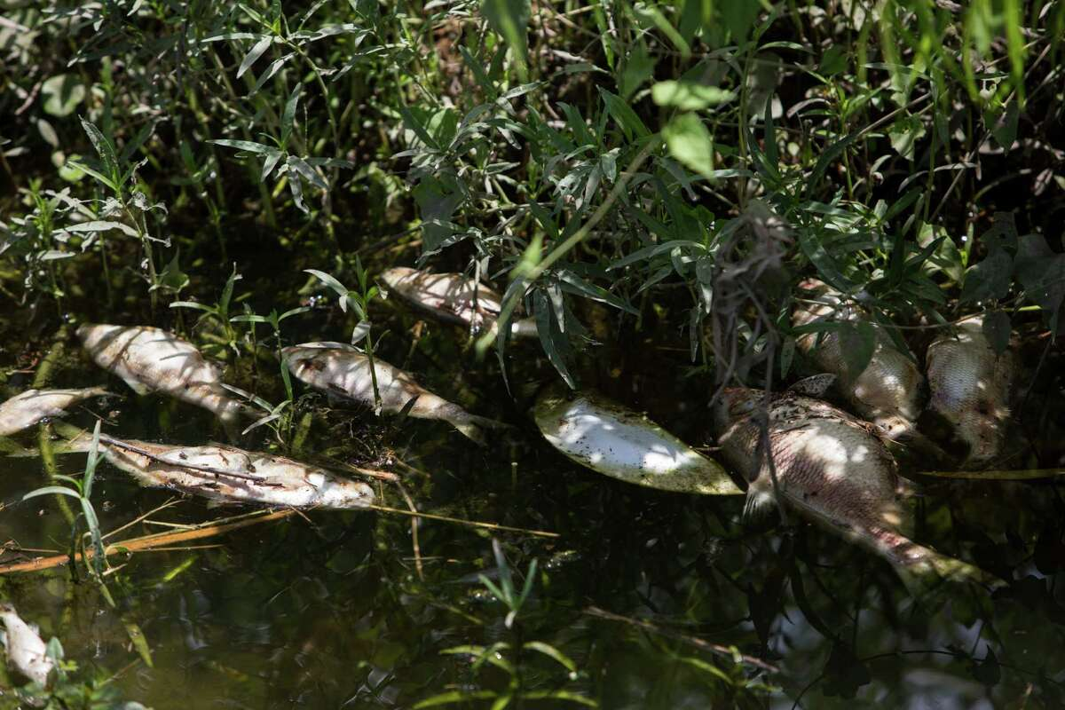 Dead fish float in the the Mission Espada Acequia next to the San Antonio River on July 29. More than 12,000 fish died after rainstorms earlier this week caused heavy stormwater runoff that reduced oxygen in the water.