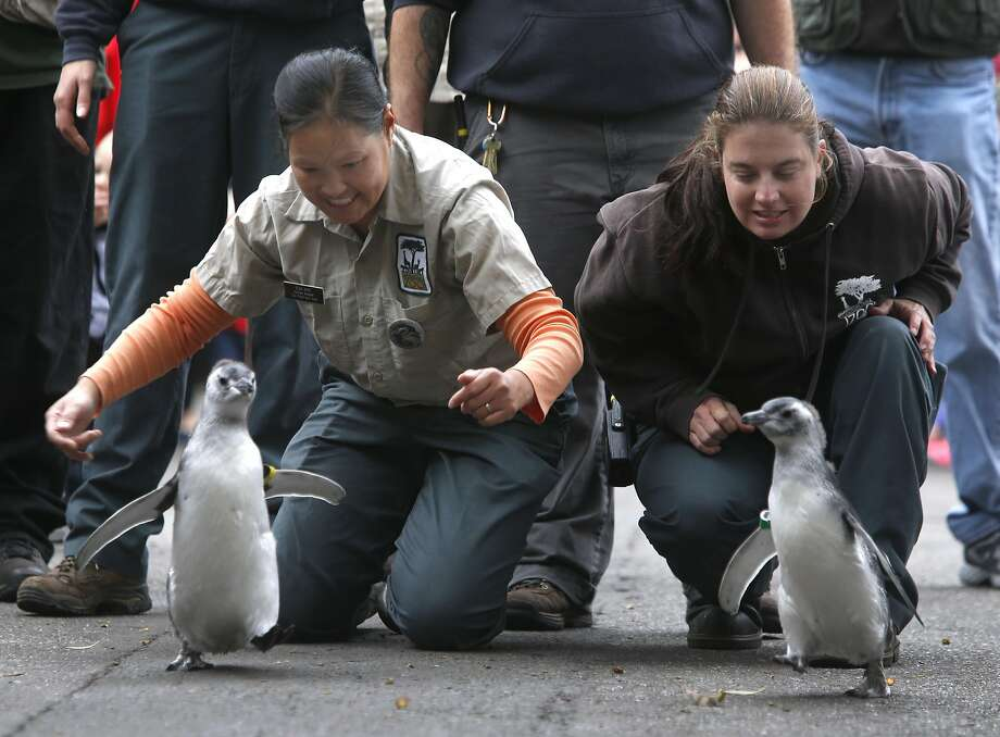 Penguin keepers Eva Mac (left) and Collette Chiparo escort two chicks to Penguin Island at the San Francisco Zoo where they became the newest citizens of the colony in San Francisco, Calif. on Saturday, July 30, 2016. The March of the Penguins is always one of the most popular annual events at the zoo. Photo: Paul Chinn, The Chronicle