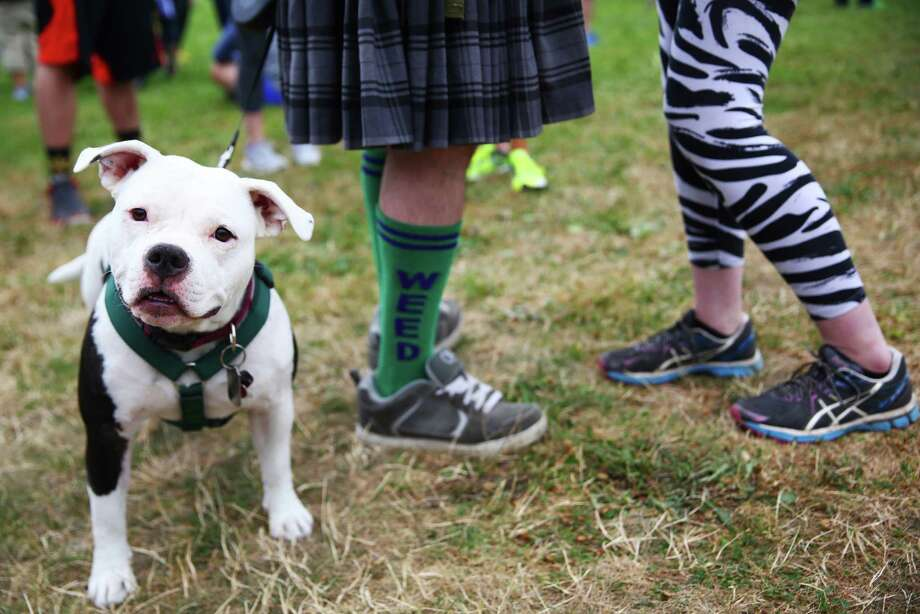Breezy, a American Bully, stands at the feet of Jacob Windhorn, left, and Marla Hutchison before they run the 4.20 mile race at the 420 Games, Sunday, July 31, 2016 at Magnuson Park. The 420 Games celebrate cannabis and physical fitness with events like the 4.20 mile run and a fitness challenge. Photo: GENNA MARTIN, SEATTLEPI.COM / SEATTLEPI.COM