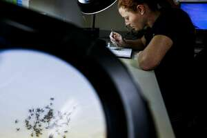 Harris County Public Health Mosquito Control Division surveillance laboratory coordinator Christy Roberts inspects and sorts mosquitos caught around Houston Friday, July 29, 2016. No mosquitos in Houston have been found to carry the Zika virus, but four individuals in Miami-Dade and Broward Florida counties have been infected with the Zika virus by local mosquitoes, health officials said Friday. ( Michael Ciaglo / Houston Chronicle )