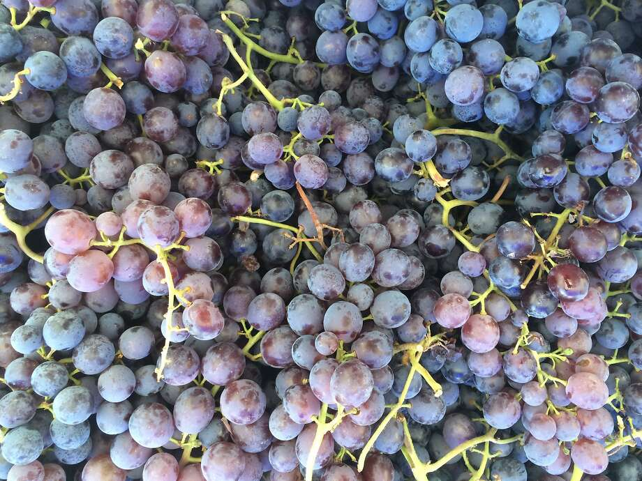 Thomcord grapes. Photo: Sarah Fritsche