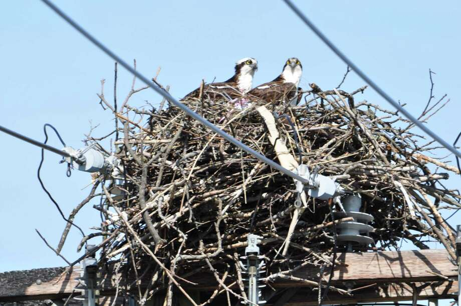 Ospreys high atop their nest on Harbor View. Photo: Contributed Photo