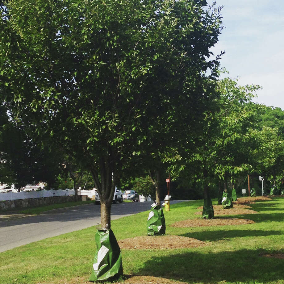 New trees line the street on Ledge Road thanks to the Tree Conservancy of Darien. Besides Ledge Road, the local non-profit recently planted 30 trees in the the Center Street South parking lot behind CVS and in the well-utilized Tilley Pond Park, which included a memorial to Keith Barker, former owner of the Gardener's Center of Darien. Darien, Conn. Aug. 2016. Photo: Contributed / Contributed Photo / Darien News
