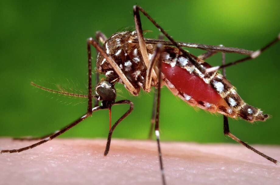 A female Aedes aegypti mosquito in the process of acquiring a blood meal from a human host. The Aedes aegypti mosquito is behind the large outbreaks of Zika virus in Latin America and the Caribbean. Photo: James Gathany / Associated Press / Centers for Disease Control and Prevention