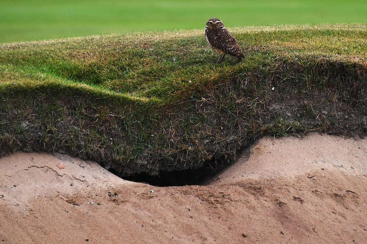 A burrowing owl stands on the grass above its nest, made in a bunker on the Rio Olympic golf course, in Rio de Janeiro, on August 3, 2016, ahead of the Rio 2016 Olympic Games.