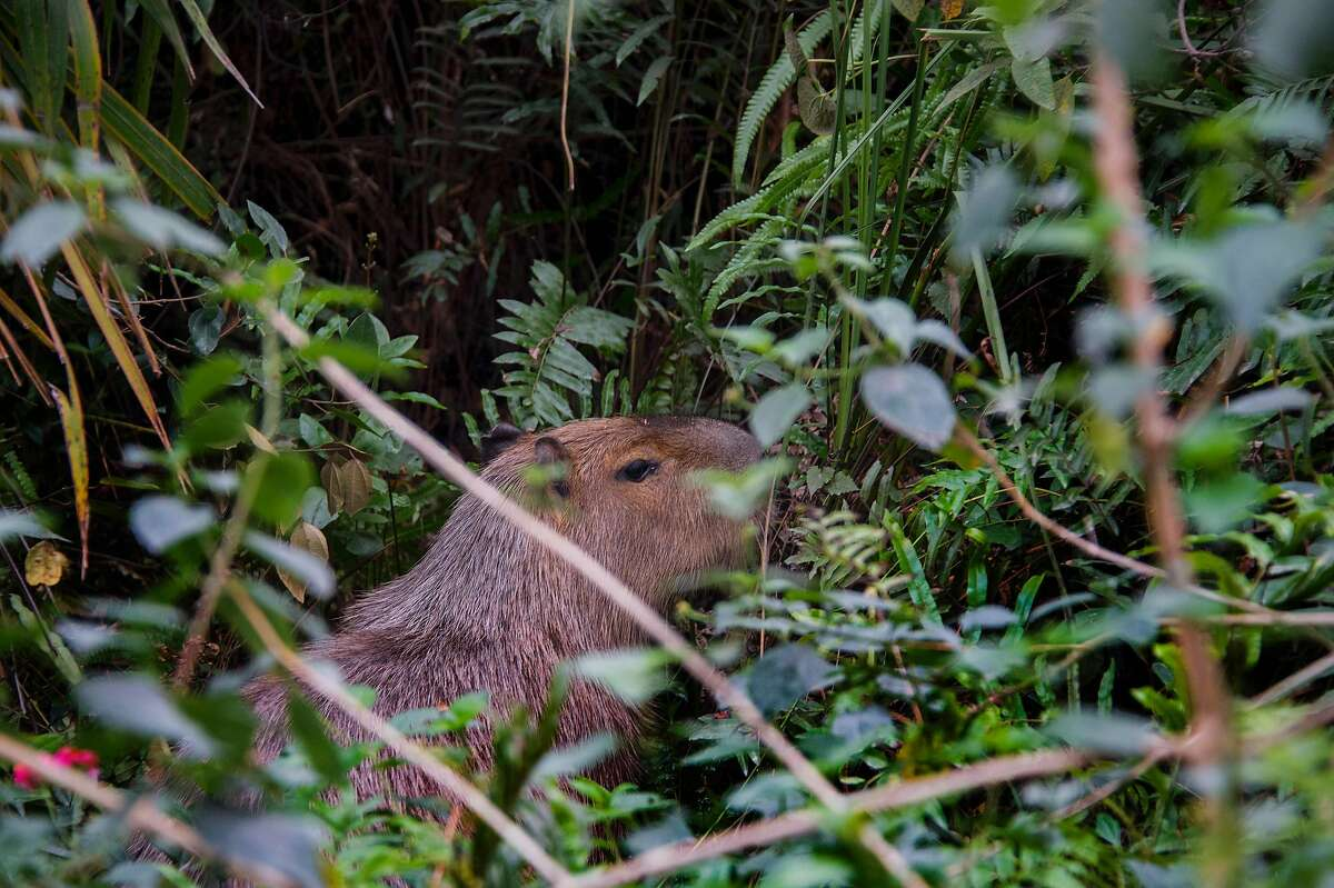A capybara, the world's largest rodent, stands in the bushes on the Rio Olympic golf course, in Rio de Janeiro, on August 3, 2016, ahead of the Rio 2016 Olympic Games.