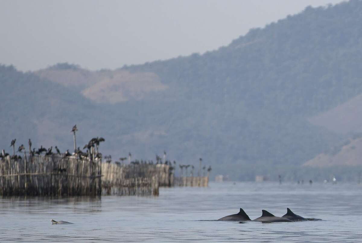 In this July 15, 2016 photo, a group of Guiana dolphins swim near fish farm pens in Guanabara Bay near Rio de Janeiro, Brazil. Olympic sailors competing in the Rio de Janeiro may navigate through fetid waters and possibly bump into floating trash. But if they are lucky enough, they might also sail past a few dozen dolphins that live in Guanabara Bay. Despite the untreated sewage and toxic industrial pollution that flows into bay waters, 34 Guiana dolphins live, breed and feed in the bay.