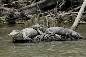 Texas' alligator population continues thriving, with as many as a half-million or more living in the 22 mostly coastal counties considered the reptiles' core habitat and where alligator hunting season opens Sept. 10.