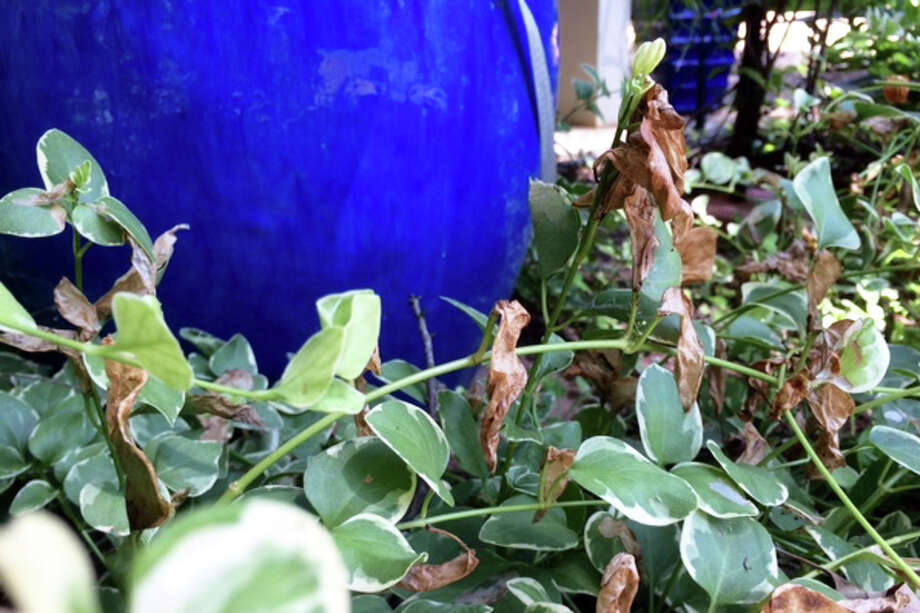 Vincas show damage from leafrollers, a common problem this time of year. Photo: Courtesy Photo