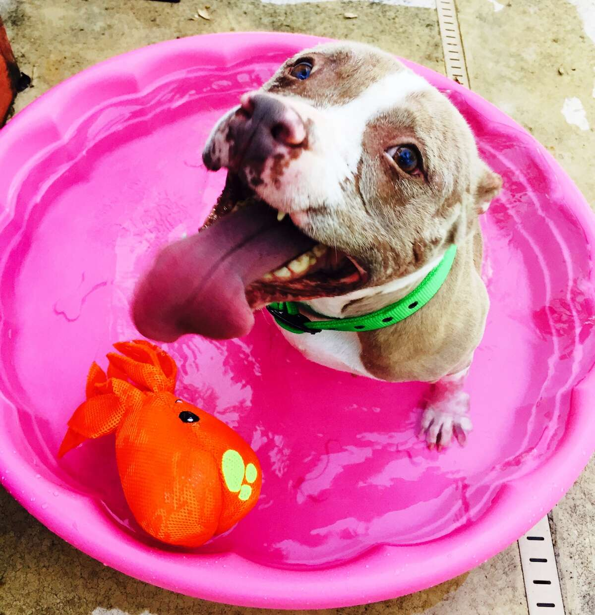 Rosie the pit bull, who suffered deep chemical burns from a previous owner, is in a loving happy home here in San Antonio.