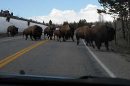 On a road trip to the Grand Tetons that covered almost 5,000 miles, stopping to let a herd of buffalo cross the road was one of the memorable highlights.