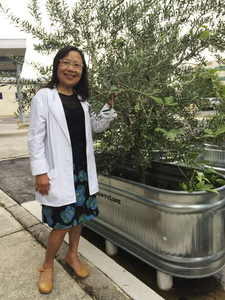Dr. Lillian Chou touches an olive tree growing in her demonstration edible garden in the parking lot of the Aurora Breast Center cancer clinic in the Medical Center area. A guerrilla gardener, Chou finds unconventional plots of land on which to grow edible plants. Photo: Richard A. Marini /Express-News