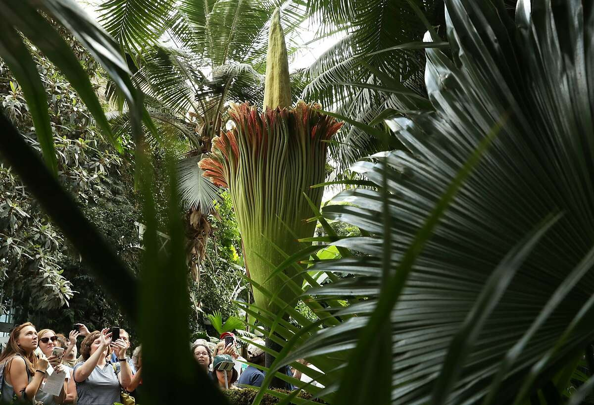 File photo of a titan arum, also known as the corpse flower, in full bloom.