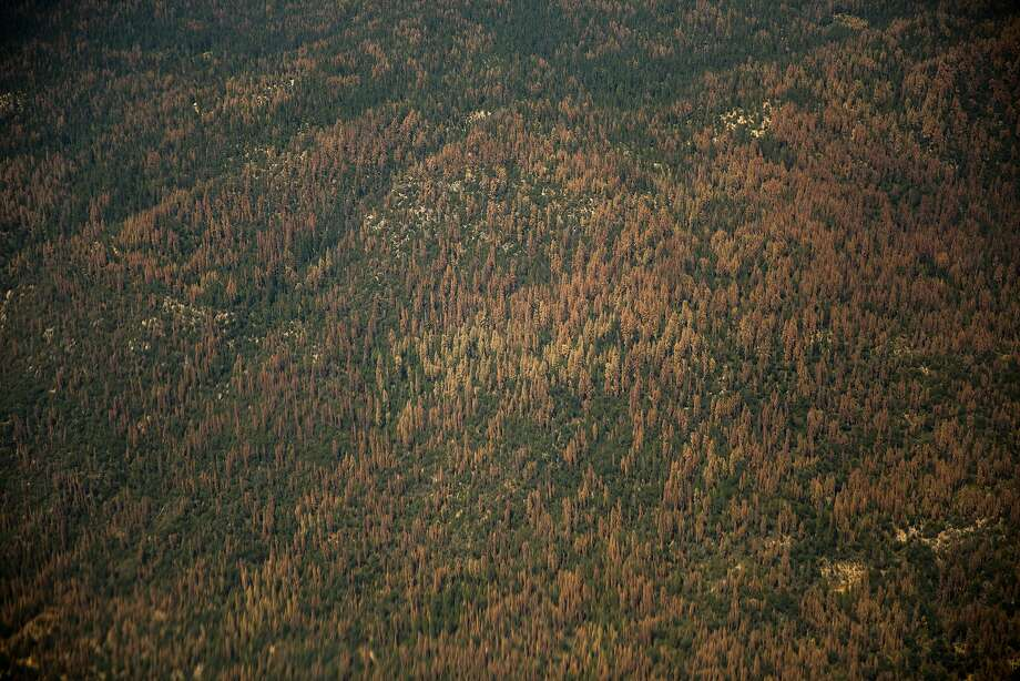 Dead trees dot the landscape of the Sierra just south of Yosemite. The number of dying trees in the state is creeping northward. Photo: Max Whittaker/Prime, Special To The Chronicle