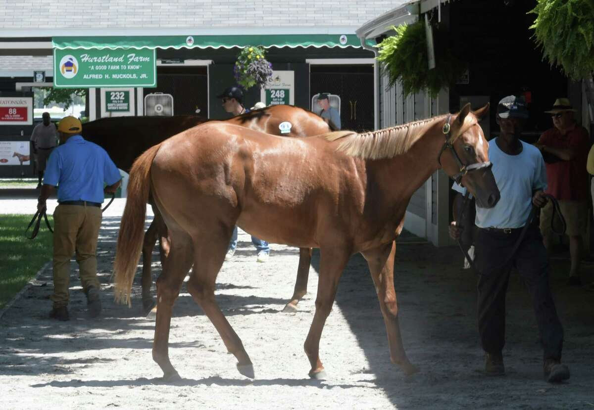 Sales yearlings are getting ready for formal showings at the Fasig Tipton sales yard Friday Aug. 5, 2016 in Saratoga Springs, N.Y. The yearling sales are back in town and will take place on Aug. 8th and 9th starting at 6:30 at the Finney Pavilion on the grounds of Fasig Tipton Sales Company. (Skip Dickstein/Times Union