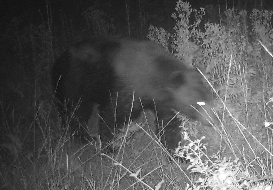 Mr. Bear rambles past campsite at 12 feet away, in Shasta-Trinity National Forest in Northern California Photo: Tom Stienstra, Tom Stienstra / The Chronicle