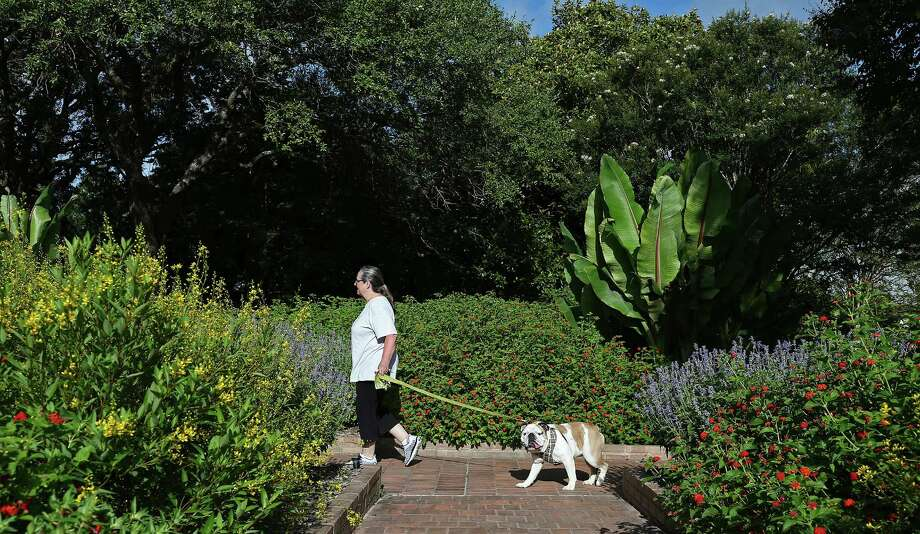 """Kathy Null walks """"Louie,"""" a 3-year-old English bulldog during the San Antonio Botanical Gardens Dog Days of Summer on Aug. 7. Dogs were allowed to visit the gardens along with their families. Photo: Jerry Lara /San Antonio Express-News / © 2016 San Antonio Express-News"""