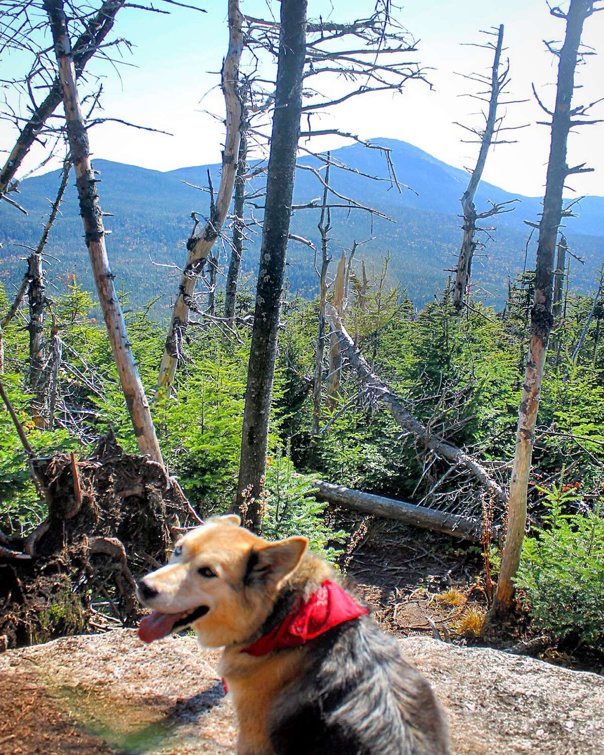 Ariel, a husky-golden retriever-Labrador mix has just one of the 46 Adirondack High Peaks remaining to climb with her owner, Amber Pitcher of East Berne. (Provided photo)
