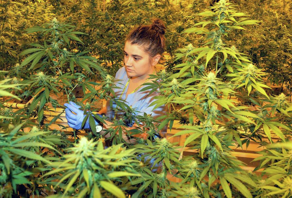 Asst. cultivator Emily Errico examines a plants during the first harvest of cannabis plants by Vireo Health of New York has begun at Tryon Technology Park and Incubator Center Thursday Nov. 12, 2015 in Perth, NY. (John Carl D'Annibale / Times Union)