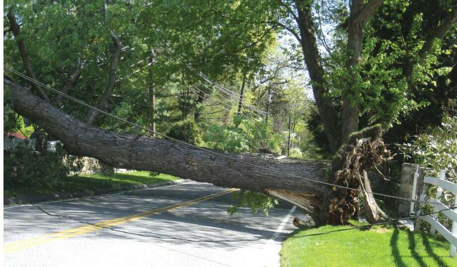 A rotted maple tree yanked down wires when it fell across Weed Street in New Canaan on Thursday. The tree had been scheduled for removed by CL&P on Friday. Photo: Brittany Lyte / New Canaan News