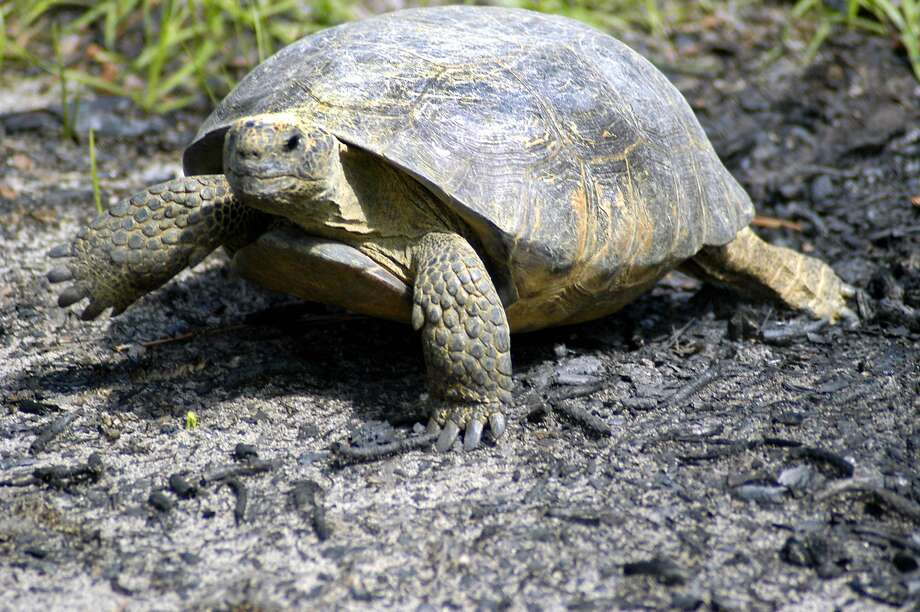 A gopher tortoise like this one was found painted in Florida. Photo: ELLIOTT MINOR, AP