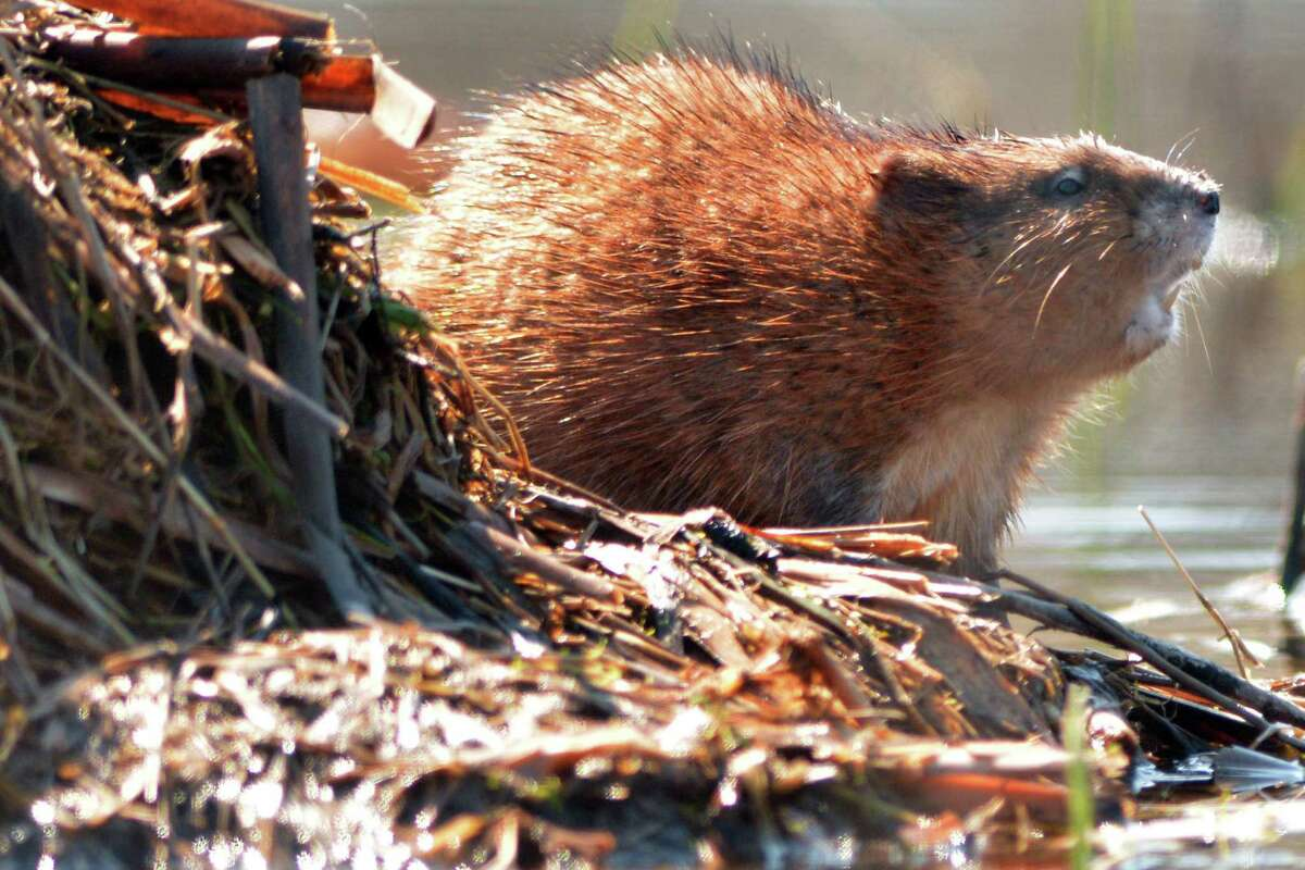 File photo of a beaver.