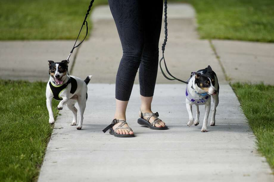 Emily Mielke walks two dogs, Drake, right, and Kendrick, left, for a new client on Monday around a Midland neighborhood. Mielke walked the two dogs for 20 minutes. Mielke owns the pet walking service All My Dawgs. Photo: Nick King/Midland  Daily News/Nick King, Nick King/Midland  Daily News