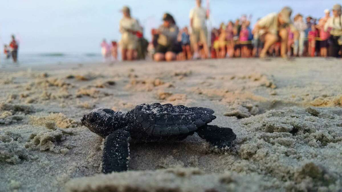 Releases of Kemp ridley sea turtle hatchlings in the summer at Malaquite Beach on the Padre Island National Seashore can draw hundreds of onlookers eager to watch the turtles that are just a few days old make their first journey across the beach to the ocean.