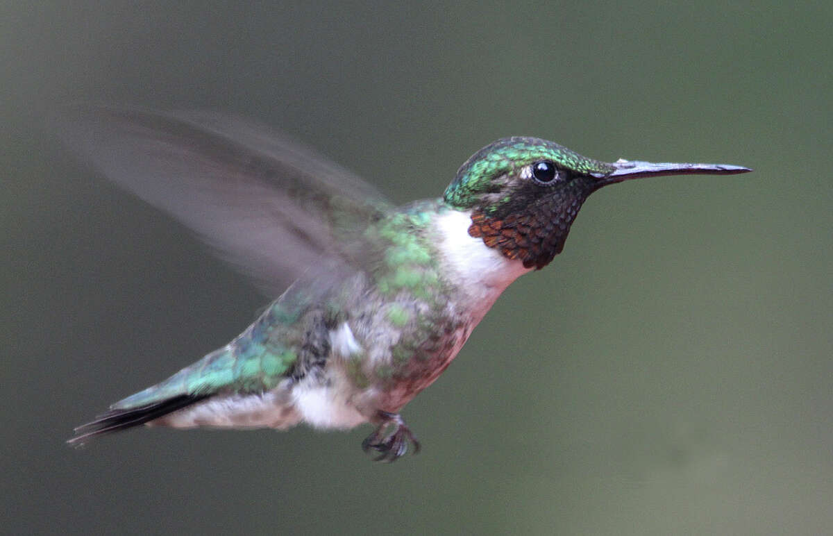 A hummingbird in Danbury last month.