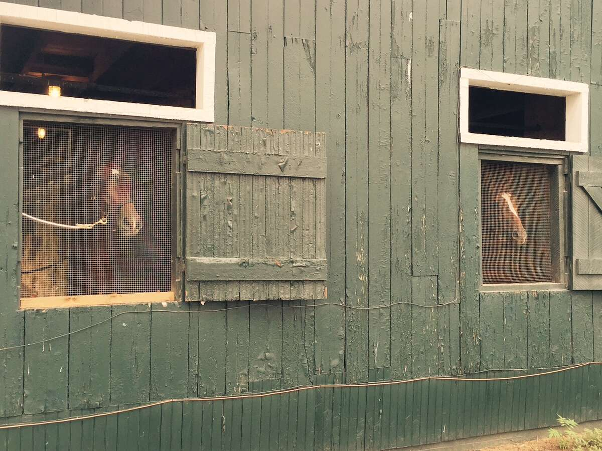 It was a lousy Wednesday morning at Saratoga Race Course. Rain. More rain. A lot of horses had to stay home and did not get to go outside for their daily exercise on the track. Look at these two poor thoroughbreds at trainer Dale Roman's barn. They had to stay inside; couldn't go out and play. All they were able to do was look out the back window and wish they could be rolling around in the mud. Take heart, horses. Thursday is another day. The rain is supposed to be gone. ?-Tim Wilkin